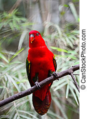 Chattering Lory (Lorius garrulus), standing on a branch,...
