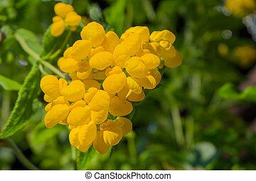 chausson, fleur, calceolaria, jaune