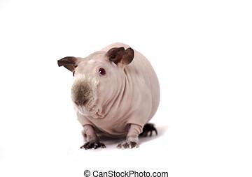 chauve, cochon inde