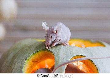 chauve, haloween, joli, albinos, souris, potirons