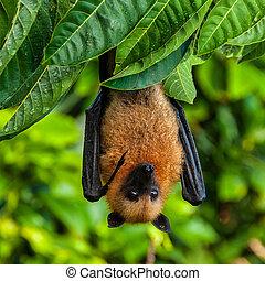 chauve-souris, ou, la, renard, fruit, seychelles, digue, ...
