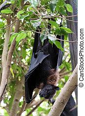 chauve-souris, voler, (pteropus), renard, fuengirola, endormi, bioparc