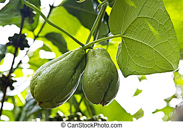 chayote, paire