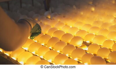 Check eggs to light for cracks on line, with help of employee.