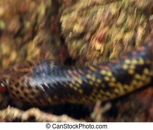 Checkerbelly Snake (Siphlophis cerv - A very rare South...