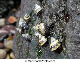 Checkered Periwinkles on a Rock at the Beach