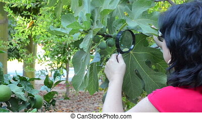 Checking green figs - Agronomist checking green figs on the...