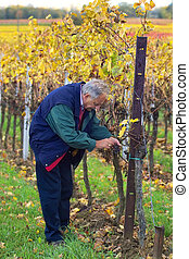 Checking the grapes - mature winemaker checking the rows of ...