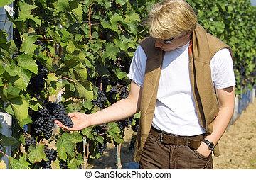 winemaker checking the dark wine grapes