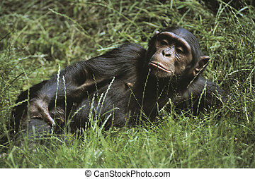 A chimpanzee lying in the grass