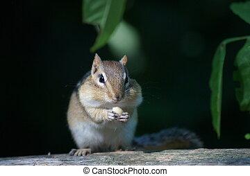 Cheeky Chipmunk feasting on a peanuts sitting on a fence.