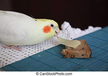 Cheeky Cockatiel parrot eat feed