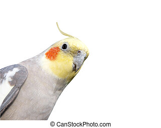 Cheeky Cockatiel isolated with clipping path. Copy space to side