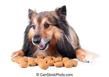 Small Sheltie or Shetland sheepdog with dogfood in front of him with cheeky smile (Not Isolated)