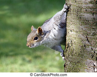 A cheeky squirrel peering around a tree
