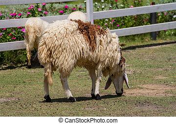 cheeps eat grass in farm
