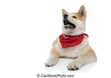 Cheerful Akita Inu panting and begging while wearing a red bandana around his neck, laying down on white studio background