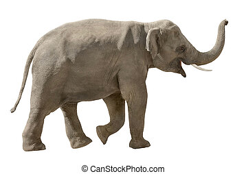 Cheerful elephant isolated on white - Asian elephant walking...