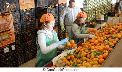 Cheerful female workers sort tangerines on the producing sorting line at fruit warehouse. High quality FullHD footage