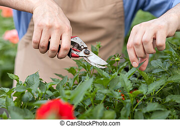 Cheerful old gardener is chopping flowers at greenhouse