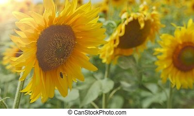 Cheery sunflowers with yellow heads on an agro area in...