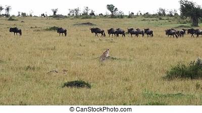 Cheetah, acinonyx jubatus, Adult hunting Wildebest, Masai...
