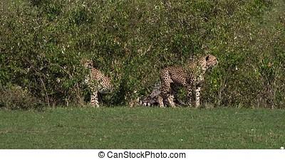 Cheetah, acinonyx jubatus, Adults emerging from Bush, Masai...