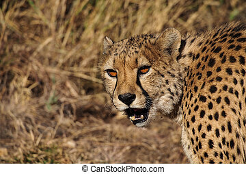 Cheetah, Acinonyx jubatus at a game drive in Namibia Africa