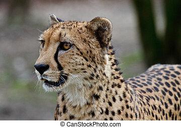 Cheetah, Acinonyx jubatus, beautiful mammal animal in the zoo
