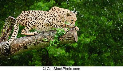 Cheetah Acinonyx Jubatus big cat in captivity