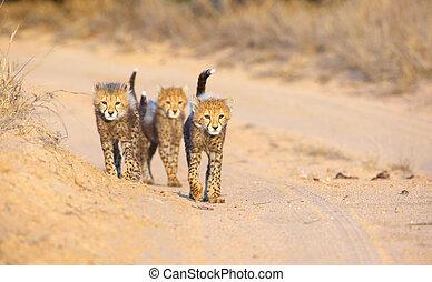 Cheetah (Acinonyx jubatus) cubs walking on the road in ...