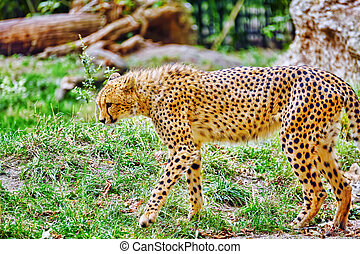 Cheetah (Acinonyx jubatus) is a big cat in the subfamily Felinae that inhabits most of Africa and parts of Iran.