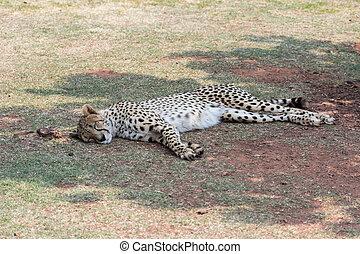 Cheetah (Acinonyx jubatus) resting in the shade