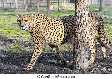 Cheetah (Acinonyx jubatus) is walking in a forest enclosure
