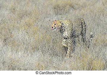 Cheetah (Acinonyx jubatus)