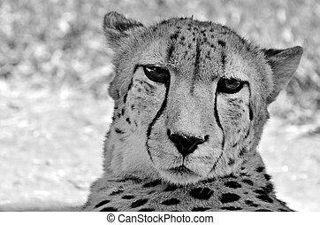 cheetah, afrikaan, zuiden, gezicht