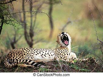 Africa, Tanzania, cheetah baring fangs