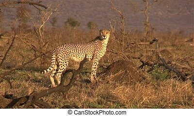 Cheetah calling out on a mound at Kruger National Park, South Africa