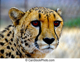 Cheetah - Close-up of a beautiful cheetah in Namibia
