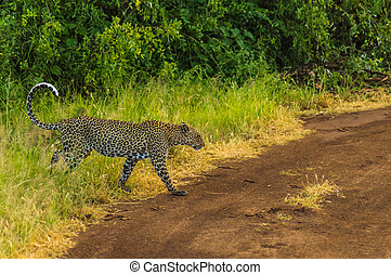 Cheetah coming out of the woods on a trail in the savannah