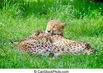 Cheetah Couple Lying in Grass Portrait