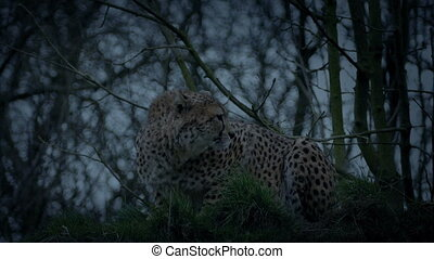 Cheetah Crouches And Stalks Off In The Evening - Cheetah...