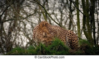 Cheetah Crouches Then Stalks Off - Cheeath crouches looking...