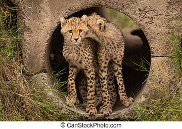 Cheetah cub bites another in concrete pipe