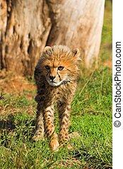 Cheetah Cub - Cheetah cub walking towards the camera