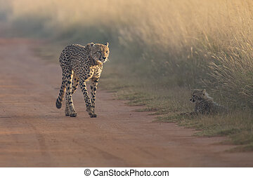 Cheetah cub playing with her mother in a road