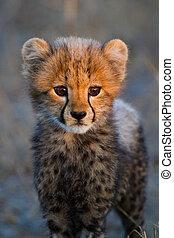 Cheetah cub portrait - A portrait of a very young cheetah ...