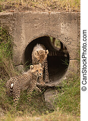 Cheetah cub stands in pipe beside another