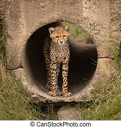 Cheetah cub stands in pipe looking out