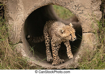 Cheetah cub stands in pipe looking right